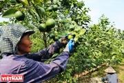 Khoái Châu: Giống chanh cho năng suất 1 tạ/năm, quả còn to gấp 3 lần bình thường