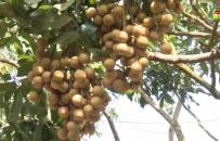 Xã Nguyên Hoà xuất bán 80 tấn nhãn chín sớm