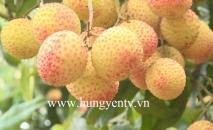 Đặc sản vải trứng Hưng Yên được mùa, được giá